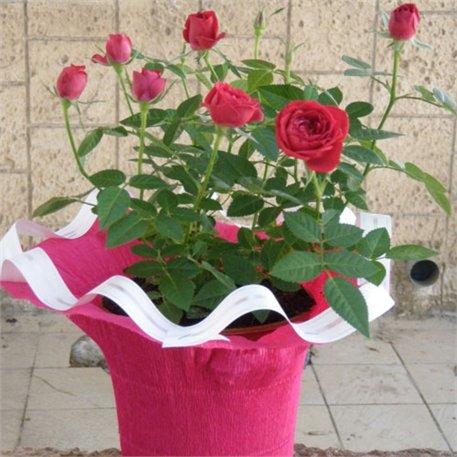 2. ורדים
